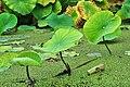Botanischer Garten der Universität Zürich - Nelumbo nucifera 2010-08-24 17-54-40.JPG