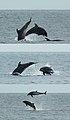 Bottlenose dolphins (4229115614).jpg