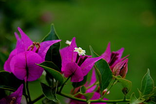 <i>Bougainvillea</i> genus of plants