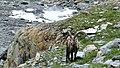 Bouquetins dans le Vallonnet près du Lac de la Patinoire (2512 m) (34).jpg