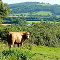 Bovine inhabitant of Grafton - geograph.org.uk - 1481450 (cropped).jpg