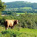 Bovine inhabitant of Grafton - geograph.org.uk - 1481450 (cropped).jpg
