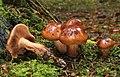 Brandiger Ritterling Tricholoma ustale.jpg