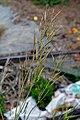 Brassica rapa subsp. campestris pods (04).jpg