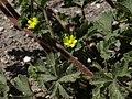 Brook cinquefoil, Potentilla rivalis (17074268408).jpg