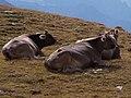 Bruna alpina.jpg