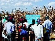 Kenyans examining insect-resistant transgenic Bt corn.