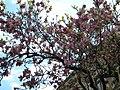 Bucuresti, Romania. Magnolie frumos inflorita. Aprilie 2019 (3).jpg