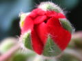 Bud of Pelargonium2.jpg