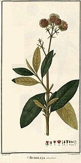 <i>Buddleja incana</i> species of plant