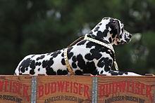 Budweiser Dalmatian Dog Names