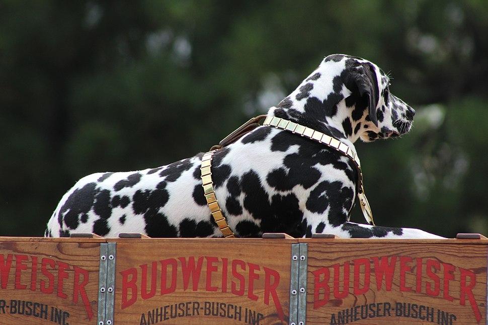 Budweiser Clydesdale Dalmatian
