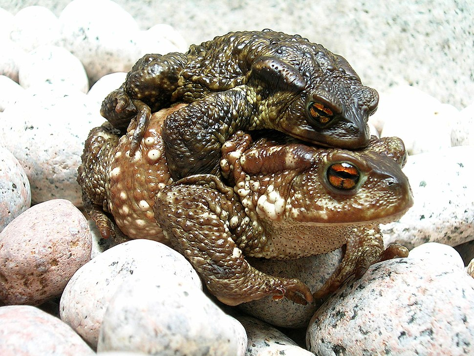 Bufo bufo couple during migration(2005)
