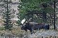 Bull Moose (50437571482).jpg