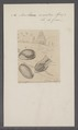 Bulla ovoïdea - - Print - Iconographia Zoologica - Special Collections University of Amsterdam - UBAINV0274 091 07 0021.tif