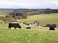 Bullocks at Wollrig - geograph.org.uk - 1532568.jpg