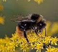 Bumble Bee (4849358448).jpg