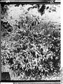 Bundesarchiv Bild 105-DOA0009, Deutsch-Ostafrika, Blühender Kaffeebaum.jpg