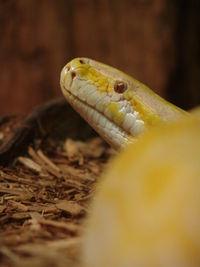 Albino Burmese Python at Alligator's Adventure.