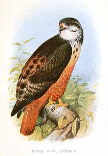 Archers buzzard species of bird