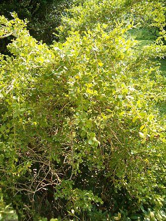 Buxus microphylla - Image: Buxus microphylla Habitus Leaves Bot Gard Bln 0906