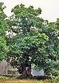 Cáceres, árboles 1975 06.jpg