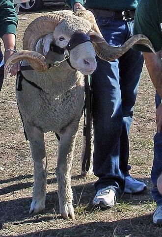 CAM the Ram - Image: CAM the Ram CSU v NM 10 28 2006