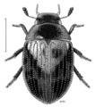 COLE Hydrophilidae Cyloma.png