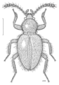 COLE Leiodidae Camiarites.png