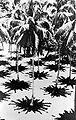 COLLECTIE TROPENMUSEUM De zon schijnt loodrecht op een tuin met kokospalmen TMnr 10012474.jpg