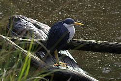 CSIRO ScienceImage 10333 Pied Heron Port Douglas Queensland.jpg