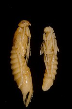 CSIRO ScienceImage 1468 Pupae of the Sirex Wasp Sirex noctilio.jpg