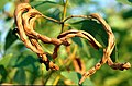 CSIRO ScienceImage 1519 Acacia tumida Seed Pod.jpg