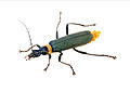 CSIRO ScienceImage 2410 Soldier Beetle.jpg