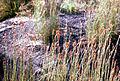 CSIRO ScienceImage 2697 Sedges.jpg
