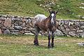 Cabalo no alto da Coma. Andorra 283.jpg