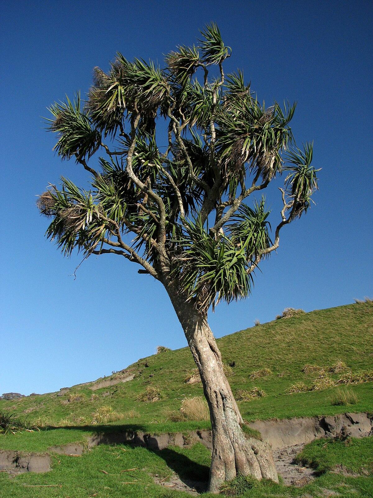Cordyline australis - Wikipedia