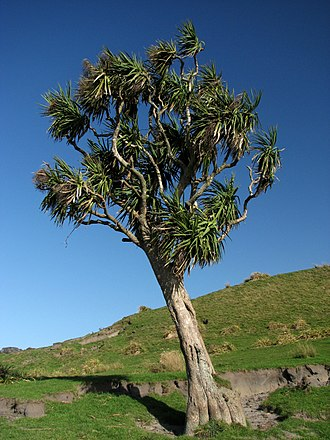 Cordyline australis - Cordyline australis on farmland, South Island, New Zealand