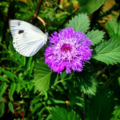 Cabbage white butterfly.webp