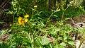 Cacaliopsis nardosmia 1.jpg