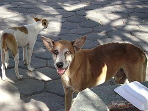 Pariah dog - Image: Cachorrosalcobaça