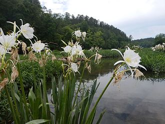 Cahaba River - Cahaba lilies at the Cahaba River National Wildlife Refuge