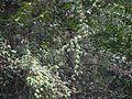 Cajanus crassus (Prain ex King) Maesen (8295375735).jpg
