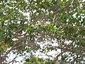 Cajueiro - panoramio.jpg