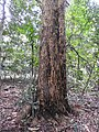 Calaphyllum apetalum-1-chemungi hill-kerala-India.jpg