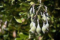 Calia secundiflora pods.jpg