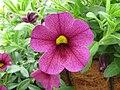 Calibrachoa 'Superbells Plum'.jpg