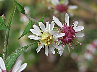 <i>Symphyotrichum lateriflorum</i> A flowering plant in the family Asteraceae native to eastern and central North America