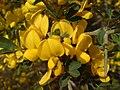 Calicotome villosa0001.jpg