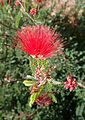Calliandra californica kz2.jpg